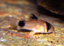 corydoras-panda2