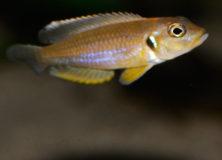 neolamprologus-ocellatus-gold