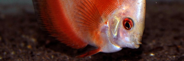 symphysodon-sp2