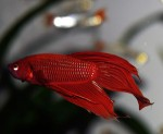 Betta-splendens-red