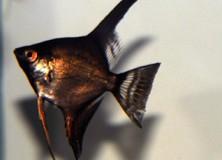 Pterophyllum-scalare-black