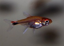 hyphessobrycon-axelrodi