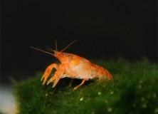 cambarellus-patzcuarensis